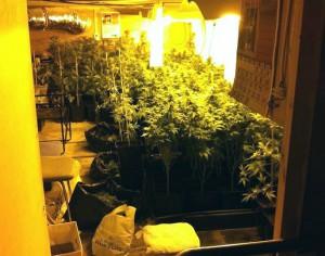 Plantes de marihuana | Foto: Arxiu