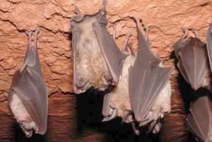Ratpenats a les mines